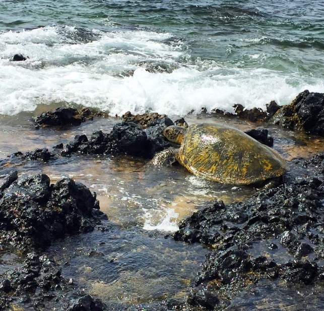 Maui honu are magical!